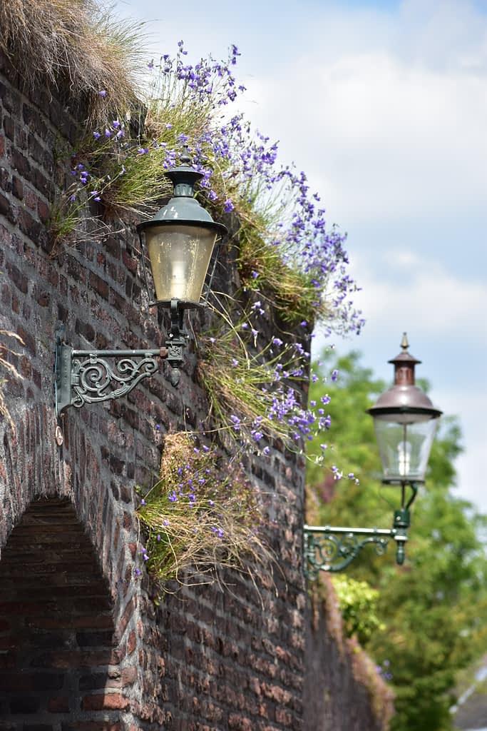 Natuur in de stad: muurbloempjes aan de oude muur van het Kartuizerklooster