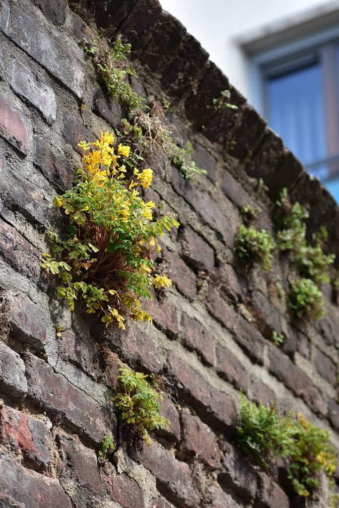 Natuur in de stad: muurbloempjes aan de oude muur van het Jesuitenklooster